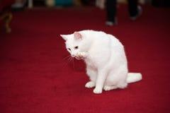 Snow white domestic cat Royalty Free Stock Photo