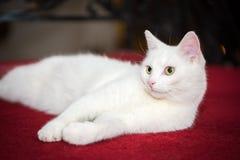 Snow white domestic cat Stock Image