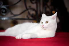 Snow white domestic cat Royalty Free Stock Images