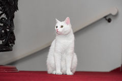 Snow white domestic cat Stock Photo