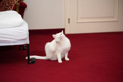Snow white domestic cat scratching his neck Stock Photo