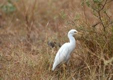 Snow white egret Stock Photo