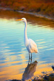 Snow White Egret. A snow white egret stands along the shore with its reflection shimmering on the water during sunset. Life is beautiful Stock Images