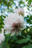Snow-white flower Stock Photography