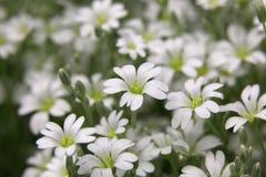 Snow white flowers Stock Photos