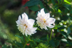 Snow-white flowers Stock Photo