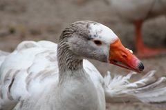 Snow Goose in white stock image