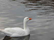 Snow White Goose royalty free stock image