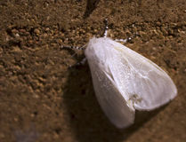 Snow White Moth. I could be wrong but this species appears to be the satin moth, Leucoma salicis; Introduced to north america in the 1920s Royalty Free Stock Photo