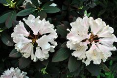 Snow-white rhododendron flowers, soft green blurry leaves background. Top view stock photography