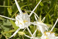 Snow White Spider Lily. These things grow wild in Louisiana at least around the Baton Rouge area. Very showy as well Stock Photo