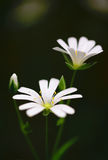 Snow-white summer flowers. Snow white small flowers on sunny grass-field Stock Images