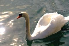 Snow white Swan on water Royalty Free Stock Photography