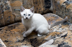 Snow-white Thai kitten on a chair Royalty Free Stock Photo