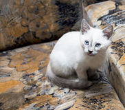 The snow-white Thai kitten has hidden on a chair Stock Photography