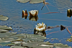 The snow-white water lily on the lake. Stock Image