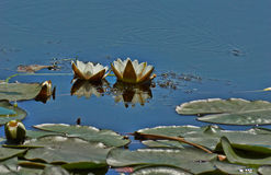 The snow-white water lily. Numphaea candida. Stock Photography