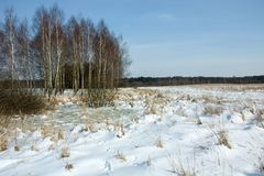 Snow on a wild meadow and birches. Snow-covered meadow, birch forest on the horizon and blue sky royalty free stock image