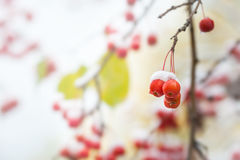 Snow on the wild red apples in the forest. Royalty Free Stock Photo
