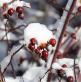 Snow on the wild rose. In the park in nature Stock Photography