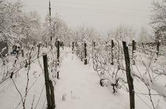 Snow in the wine ground. Wine Away the Winter, snow in the wine ground Stock Photo