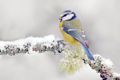 Snow winter with cute songbird. Bird Blue Tit in forest, snowflake and nice lichen branch. First snow with animal. Snowfall fit be