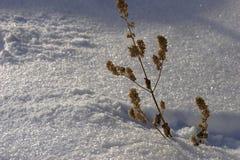Snow winter dried branch minimalizm. Winter, frosty sunny day snow sparkles, dried branch, minimalizm Royalty Free Stock Image