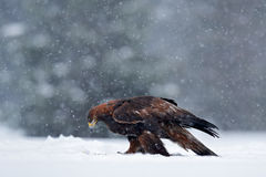 Snow winter with eagle. Bird of prey Golden Eagle with kill hare in winter with snow. Wildlife scene from Sweden nature. Bird feed Royalty Free Stock Photos