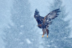 Snow winter with eagle. Bird of prey White-tailed Eagle, Haliaeetus albicilla, flying with snow flake, dark forest in background. Royalty Free Stock Photos