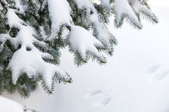 Snow on winter evergreen branches Royalty Free Stock Image