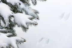 Snow on winter evergreen branches Stock Image