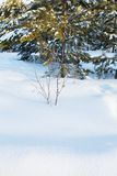Snow in the winter forest Royalty Free Stock Images