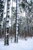Snow  in winter forest. Royalty Free Stock Images