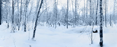 Snow in winter forest. Royalty Free Stock Image