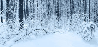 Snow in winter forest. Stock Photography