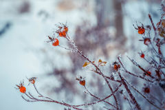 Snow winter in town. Dog rose wild rose with frosty red rose hips, urban red and yellow pipes on the blur background. stock photo