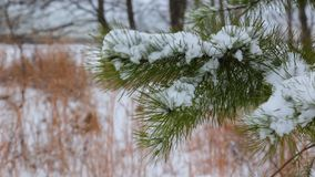 Pine christmas tree winter branch in snow. Snow winter tree branch Pine christmas tree winter branch in snow stock video footage