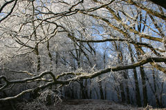 Snow on winter tree branches in wood Royalty Free Stock Image