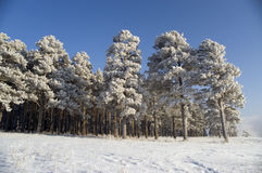 Snow winter trees. On a background of the light-blue sky there are a lot of trees in snow Stock Photography