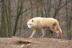 Snow wolf Stock Image