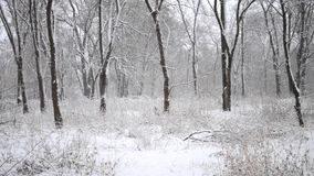 Snow in the woods. Usual deciduous forest in winter. Snow trees branches daytime stock footage