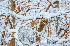 Snow on yellow leaves Royalty Free Stock Photo