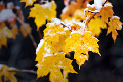 Snow on Yellow Maple Leaves Royalty Free Stock Photo