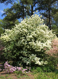 Snowball and Azaleas at Callaway Gardens Royalty Free Stock Photo