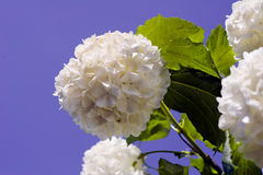 Snowball blossom. Snowball bloom, flourish blossom in springtime with blue sky royalty free stock photos