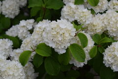 Snowball bush close-up with green leaves. Snowball bush close-up with green leaves and large snowball white blooms stock photography