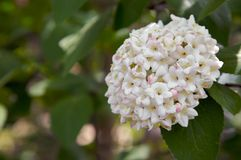 Snowball bush flowering Stock Images