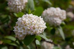 Snowball bush flowering Royalty Free Stock Photo