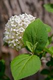 Snowball bush flowering Stock Photography