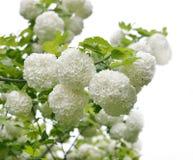 Snowball Bush Stock Photography